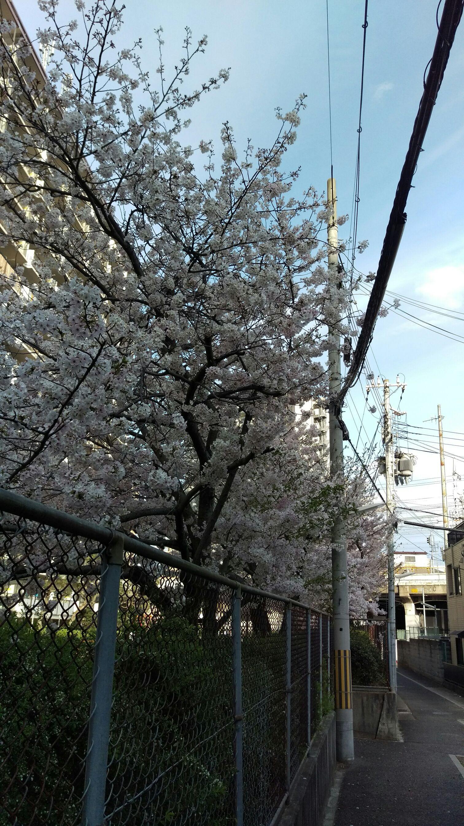 桜とたこ焼とゴンズイ
